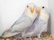 Couple d inséparable violet bleu marbled
