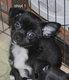 2 bébés chihuahua mâle poil court [cherche]...