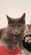 Chat gris perdu à Sclayn