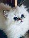 British longhair chatons disponibles bleu et crème