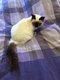 Disponibles 3 Sacrés de Birmanie grands chatons