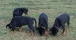 Chiots Rottweiler pure race Lof hd sanguin...
