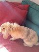 Jeune lapine bélier tête de lion