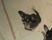Chihuahua Of Tierras Calientes à poils courts...