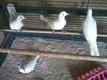 Tourterelles blanches