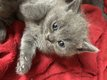 5 magnifiques chatons british
