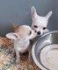 Chihuahuas magnifiques  chiots petite taille