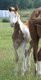 Plusieurs chevaux paint horse