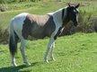 Superbe étalon paint horse grullo tobiano pour...