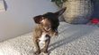 Chiots chihuahua elevage familialle