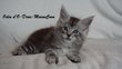 Chatons Maine Coon disponibles