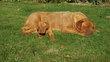 Chiots dogue de Bordeaux