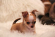 Petits Chiots Chihuahuas disponibles