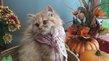 Adorables chatons roux de pure race british long...