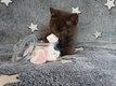 A réserver bébés british shorthair chocolat