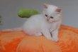 Superbe chaton sacré  de birmanie crème