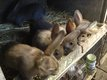 Jeunes de lapin
