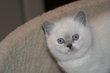 Bébé british shorthair