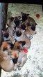 A réserver chiot berger malinois