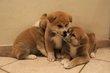 Réste 2 males Chiots akita inu avec pedigree