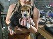 Beagle chiot mâle et femelle