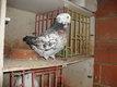 Couple de gros pigeon