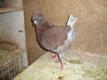 Mâle de pigeon king