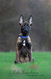 Chiots berger malinois / Boscaille