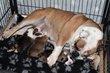 Chiot femelle staffordshire bull terrier