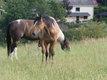 Superbe pouliche paint horse de robe apaloosa