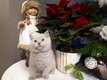 4 adorables chatons British Shorthair