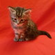 Adorables chatons Maine Coon