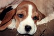 Magnifiques chiots Beagle