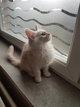 Reste 1 magnifique chaton maine coon