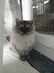 Magnifique chatons persans chinchilla
