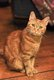 Chat perdu ou volé: Ginger