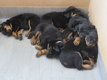 Adorables chiots Beauceron