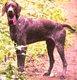 Braque allemand mâle 3 ans
