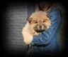 Chiots Chow Chow brun