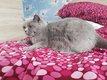 Chat femelle british