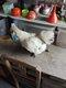 Poule nègre soie barbue