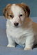 Jack Russell pups - chiots