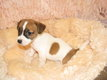 Superbes chiots Jack Russell