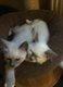 Adorables chatons Sacré de Birmanie Lilac...