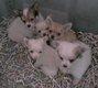 Chihuahuas chiots