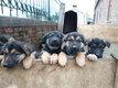 Chiots berger allemand - Pups duitse herder
