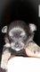 Chihuahua à réservé