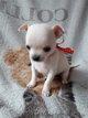 Mini Chihuahua