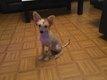 Toilettage chien chinois