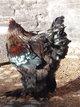 Oeufs de poule Brahma